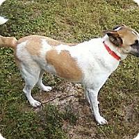 Adopt A Pet :: Ashi - Crestview, FL