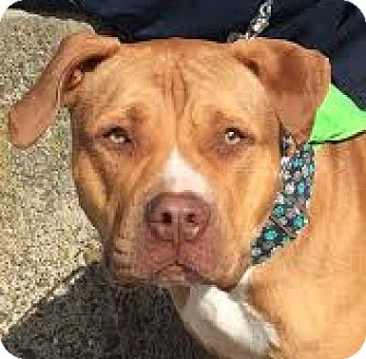Pit Bull Terrier Mix Dog for adoption in San Francisco, California - Kentucky