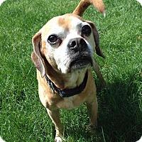 Adopt A Pet :: Professor Pugglesworth - Newtown, CT