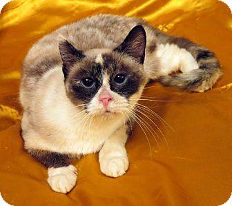 Siamese Cat for adoption in St. Louis, Missouri - Cleocatra