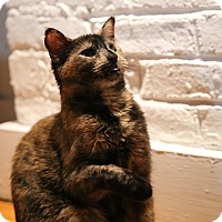 Domestic Shorthair Cat for adoption in New  York City, New York - Diane