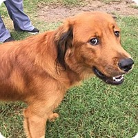 Golden Retriever Dog for adoption in Fort Worth, Texas - Brazos #0536