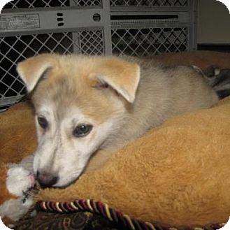 Husky/German Shepherd Dog Mix Puppy for adoption in Surrey, British Columbia - Kaitsu