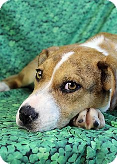 Boxer/Australian Cattle Dog Mix Dog for adoption in Westminster, Colorado - Juliet