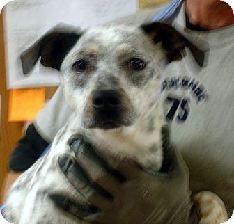 Australian Cattle Dog/Labrador Retriever Mix Dog for adoption in Greencastle, North Carolina - Dottie