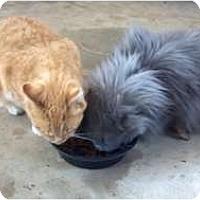 Adopt A Pet :: Bill and Smokey - Reston, VA