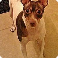 Adopt A Pet :: Shiloh the Lovable Rat Terrier - Ocala, FL
