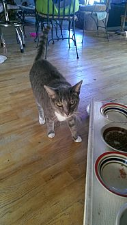 Domestic Shorthair Cat for adoption in Naples, Florida - Derry