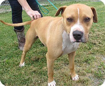 Labrador Retriever/Pointer Mix Dog for adoption in Reeds Spring, Missouri - Chigger