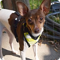 Rat Terrier Dog for adoption in Prosser, Washington - Abby - pending