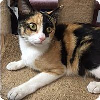 Domestic Shorthair Cat for adoption in Brea, California - ELLA