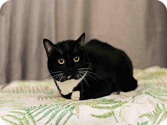 Domestic Mediumhair Cat for adoption in Sugar Land, Texas - *JUNIPER