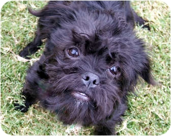 Brussels Griffon/Havanese Mix Puppy for adoption in Los Angeles, California - EEVEE - ADOPTION PENDING