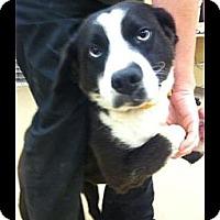 Adopt A Pet :: Cher - Lancaster, OH