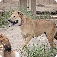 Golden Retriever/Labrador Retriever Mix Dog for adoption in Portland, Oregon - PAU - DOG and CAT friendly