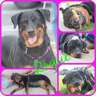 Rottweiler Dog for adoption in Ft Worth, Texas - ROGUE