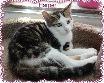 Domestic Shorthair Kitten for adoption in Ozark, Alabama - Harper