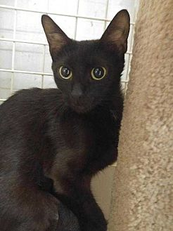 Domestic Shorthair Cat for adoption in Dallas, Texas - Neera....abandoned in apartment