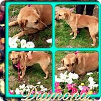 Adopt A Pet :: Diamond - Pompton Lakes, NJ