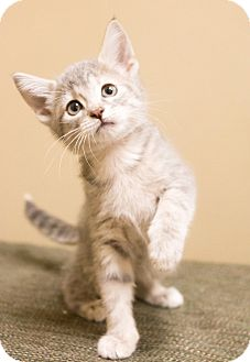 Domestic Shorthair Kitten for adoption in Chicago, Illinois - Appi