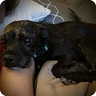 Terrier (Unknown Type, Small) Mix Dog for adoption in El Paso, Texas - Chase