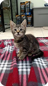 Domestic Shorthair Kitten for adoption in Austintown, Ohio - Rema