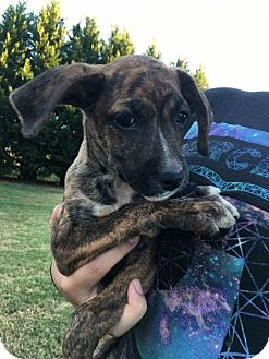 Boxer/Treeing Walker Coonhound Mix Puppy for adoption in Albemarle, North Carolina - Amethyst