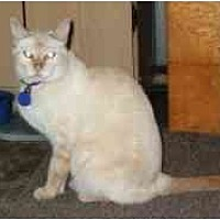 Siamese Cat for adoption in Pasadena, California - Krystle