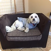Maltese Mix Dog for adoption in Caldwell, New Jersey - Brody ~ Tiny Dancer!