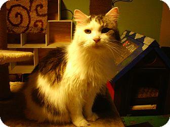 Maine Coon Cat for adoption in Bridgeton, Missouri - Riley