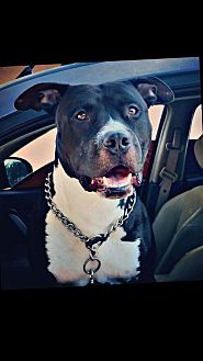 American Pit Bull Terrier/American Staffordshire Terrier Mix Dog for adoption in Dana Point, California - Bambam