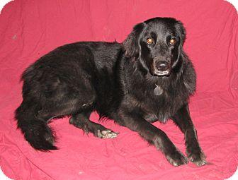 Golden Retriever/Newfoundland Mix Dog for adoption in Seattle, Washington - Catori