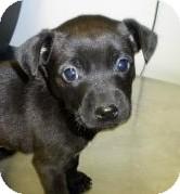 Labrador Retriever/Terrier (Unknown Type, Medium) Mix Puppy for adoption in Lincolnton, North Carolina - Buddy