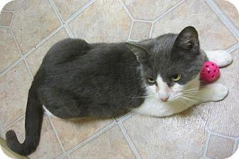 Domestic Shorthair Kitten for adoption in Mobile, Alabama - BeBe