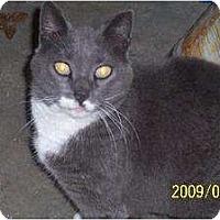 Domestic Shorthair Cat for adoption in Mtn Grove, Missouri - Misha