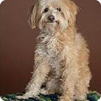 Adopt A Pet :: Felicia - non shed! - Phoenix, AZ