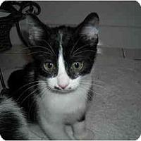 Adopt A Pet :: Kittens - Arlington, VA