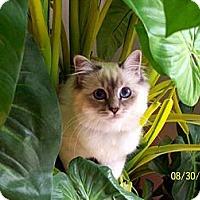 Adopt A Pet :: Little J - Alexandria, VA