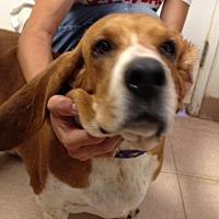 Basset Hound Mix Dog for adoption in Acton, California - Penelope