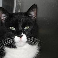 Domestic Shorthair Cat for adoption in Logan, Utah - Aurora