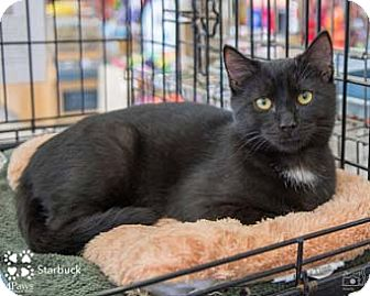 Domestic Shorthair Kitten for adoption in Merrifield, Virginia - Starbuck