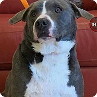 Adopt A Pet :: Apache - Staunton, VA