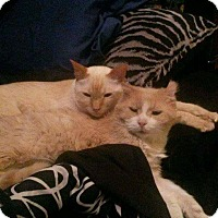Domestic Mediumhair Cat for adoption in THORNHILL, Ontario - Victor
