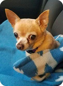 Chihuahua Mix Dog for adoption in San Antonio, Texas - Papaya