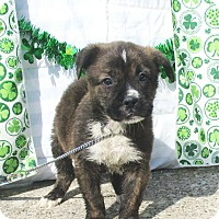 Adopt A Pet :: Anuk - West Chicago, IL