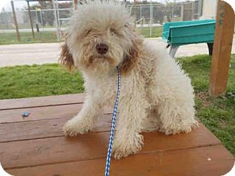 Lhasa Apso Dog for adoption in Rosenberg, Texas - A010435