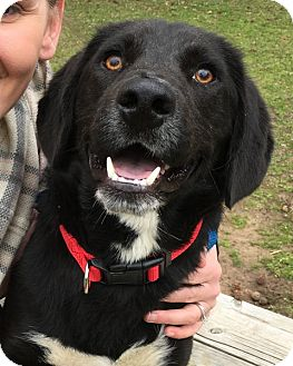 Retriever (Unknown Type)/Border Collie Mix Dog for adoption in Enfield, Connecticut - Oliver