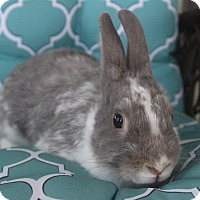 Adopt A Pet :: Chloe - Hillside, NJ