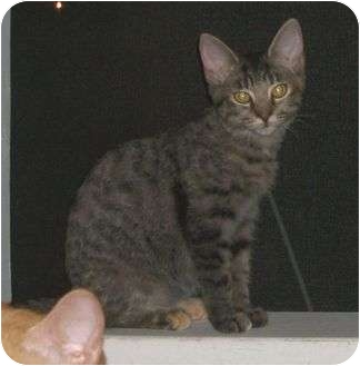 Domestic Shorthair Cat for adoption in Cocoa, Florida - Isis