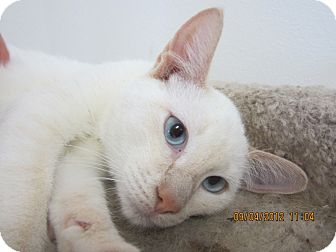Siamese Kitten for adoption in Bunnell, Florida - Spark